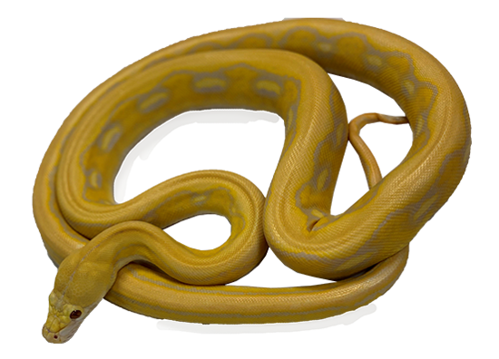Sunfire Lavender Albino Tiger Reticulated Python