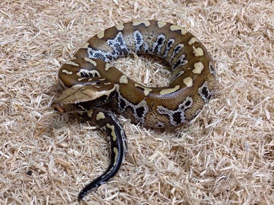 Picture of Classic Blood Python
