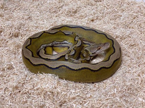 Picture of Male Jay's Pick Super Sunfire Reticulated Python